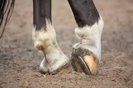 Lameness, Arthritis, and Treatment by Dr. Corinne Hills