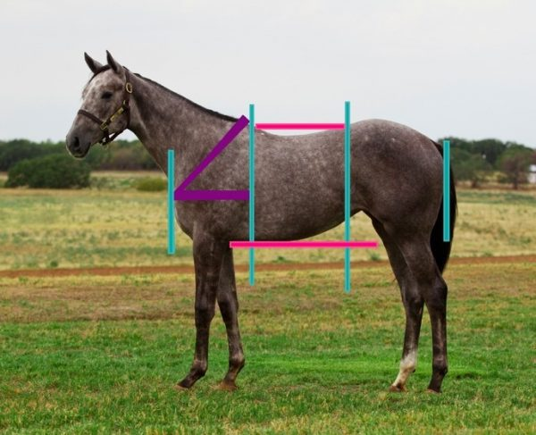 Equine Conformation – What is Correct? by Dr. Corinne Hills