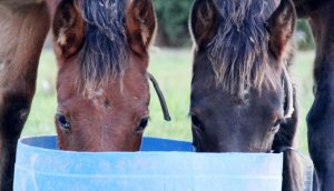 How Protein can Affect Performance in Standardbred Horses